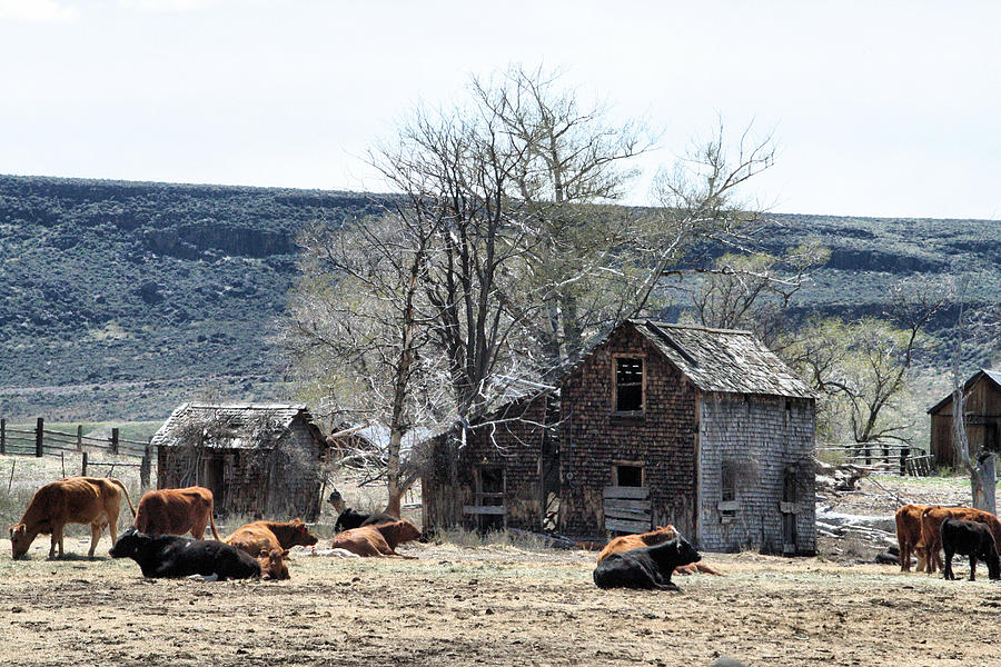 Oregon Photograph - Cattle Flop House by Ray Finch