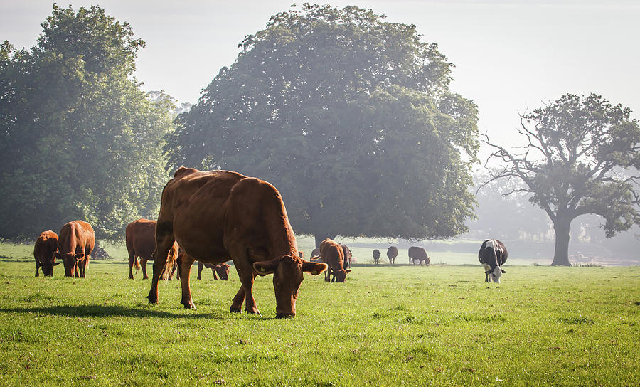 Cattle Grazing In Field Photograph by Deborah Pendell