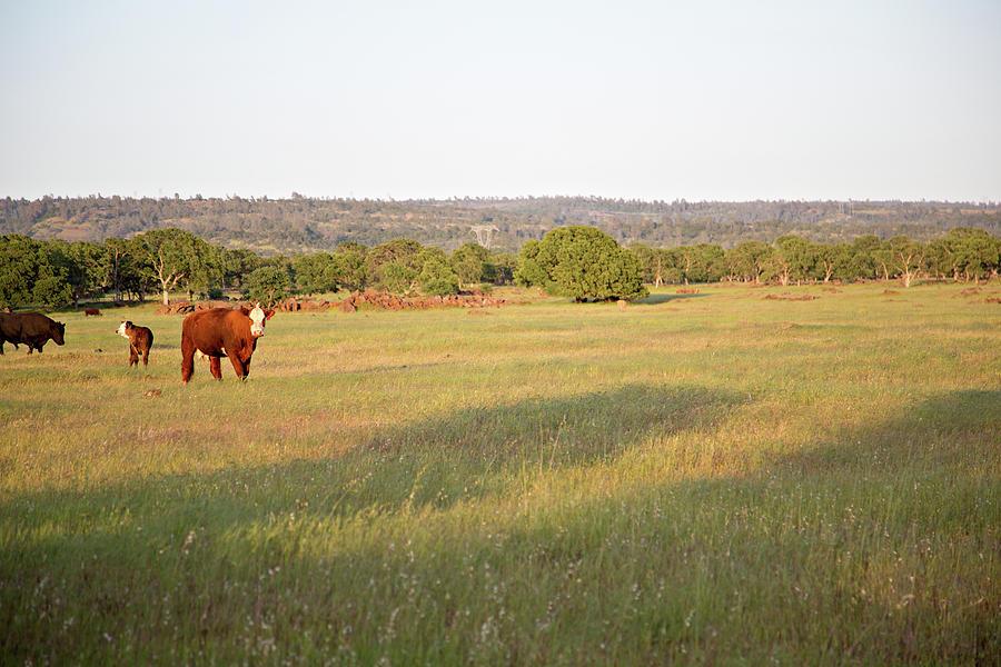 Cattle Grazing In The Field Photograph by Debbismirnoff
