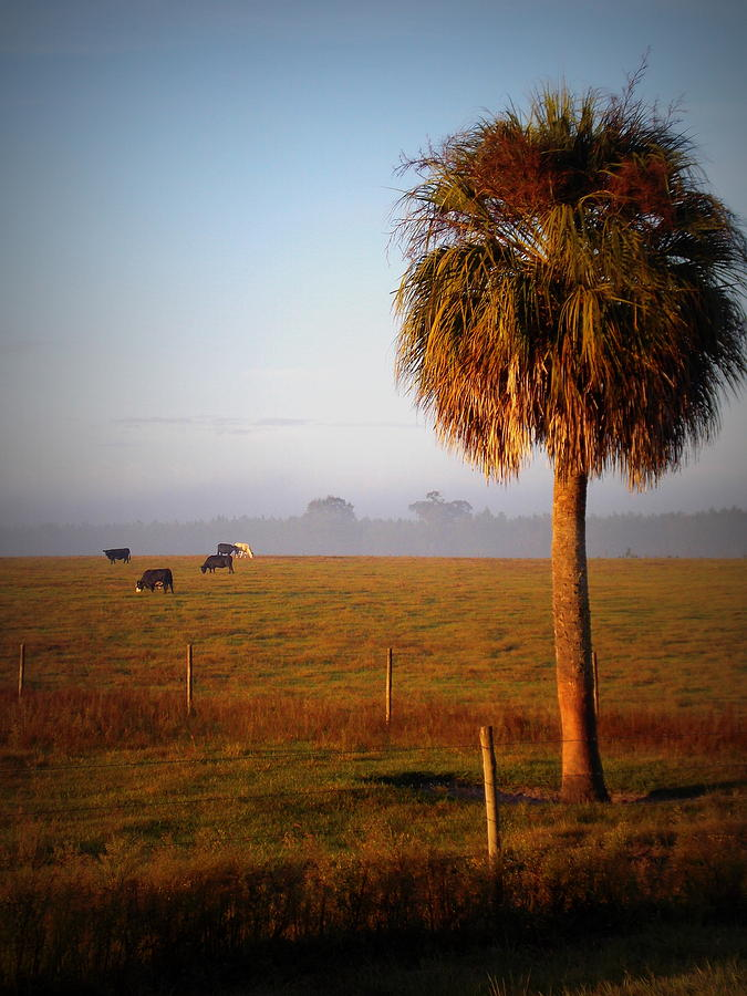 Grazing Cows Photograph - Cattle Grazing On Foggy Morning 1 by Sheri McLeroy