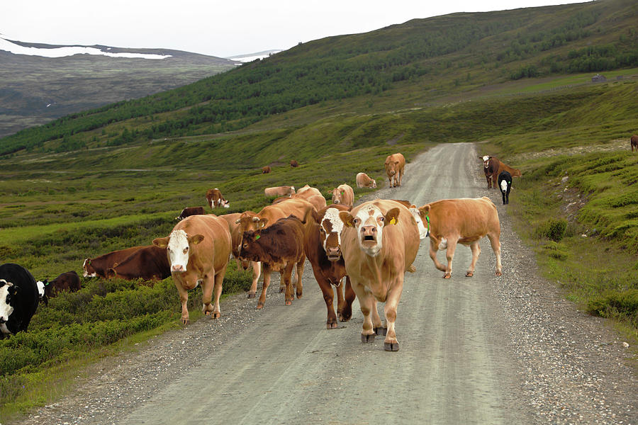 Cattle In The Mountains Photograph by Ekely