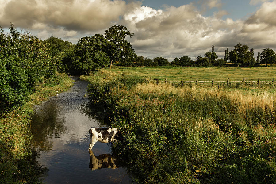 Cattle In The Stream, That Is What We Photograph by A Photo By Fletche
