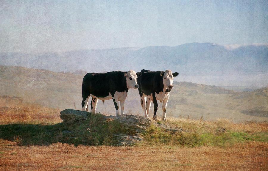 Cattle Photograph by Jill Ferry