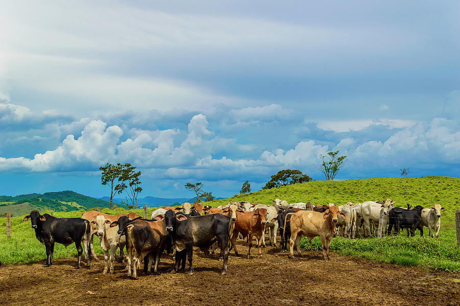 Cattle Photograph by Kcris Ramos