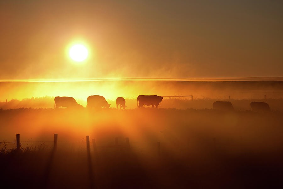 Cattle Silhouette On An Alberta Ranch Photograph by Imaginegolf