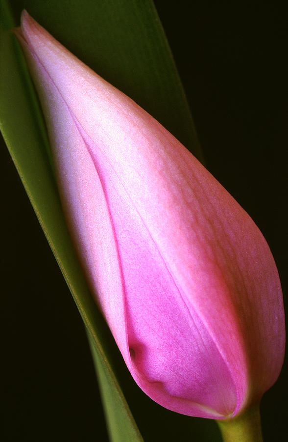 Flower Bud Photograph - Cattleya Bud by Bill Morgenstern