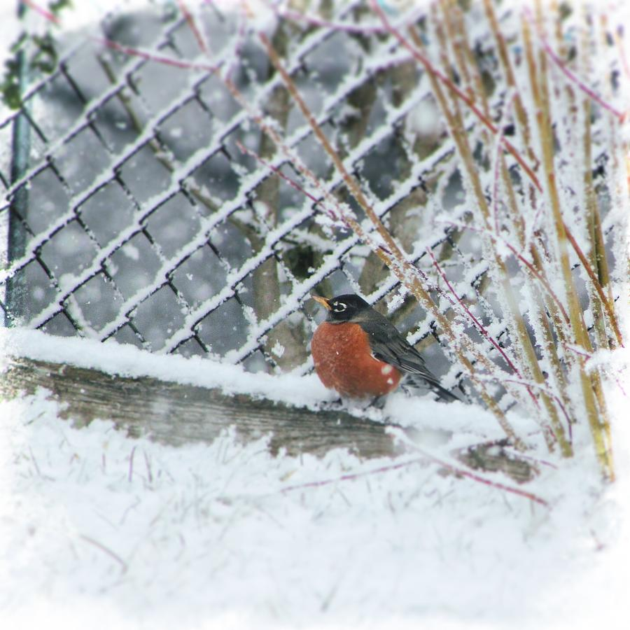 Robin Photograph - Caught In The Storm by Kim Thompson