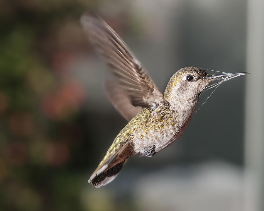 Hummingbird Photograph - Caught In The Web by Mike Herdering