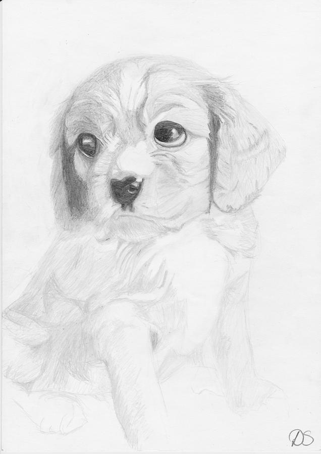 Cavalier King Charles Spaniel Puppy Drawing By David Smith