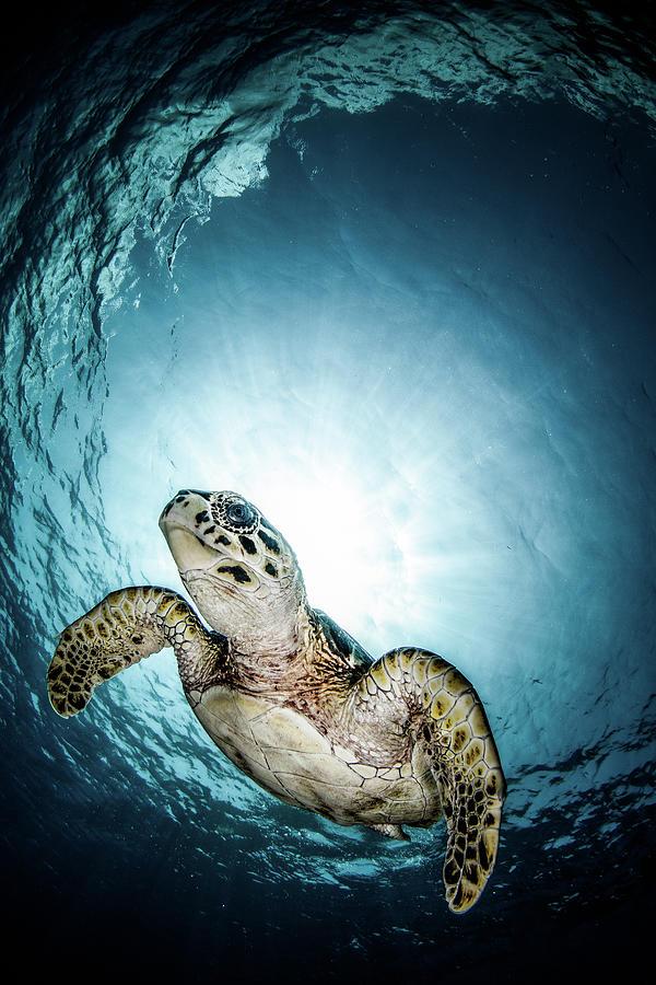 Cayman Sun Ball Turtle Photograph by Tom Meyer