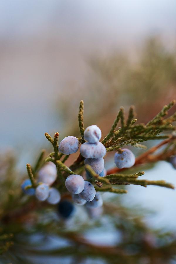 Montana Photograph - Cedar Berries by Kevin Bone