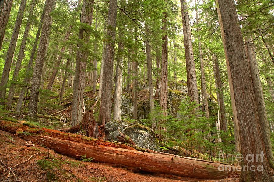 Cedar Logs At Garibaldi Photograph