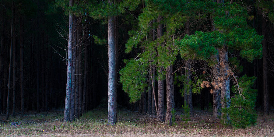 Tim Nichols Photograph - Cedar by Tim Nichols