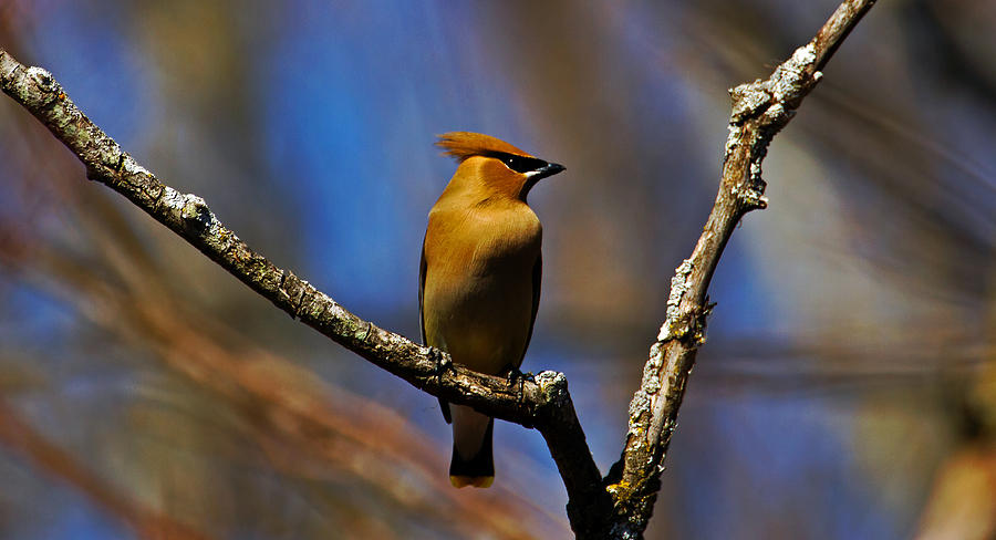 Cedar Waxing Spring Again Photograph