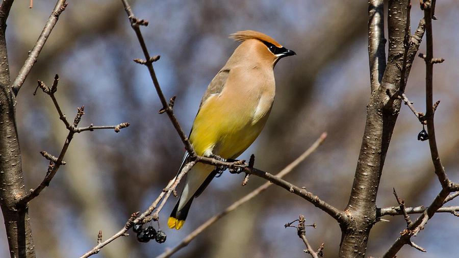 Cedar Waxing Spring Photograph
