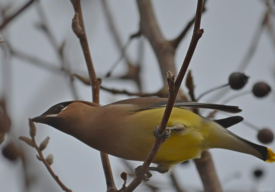 Bird Photograph - Cedar Waxwing Feasting In Foggy Cherry Tree by Jeff at JSJ Photography