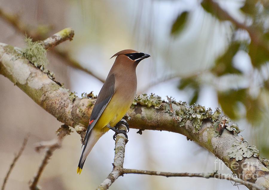 Birds Photograph - Cedar Waxwing by Kathy Baccari