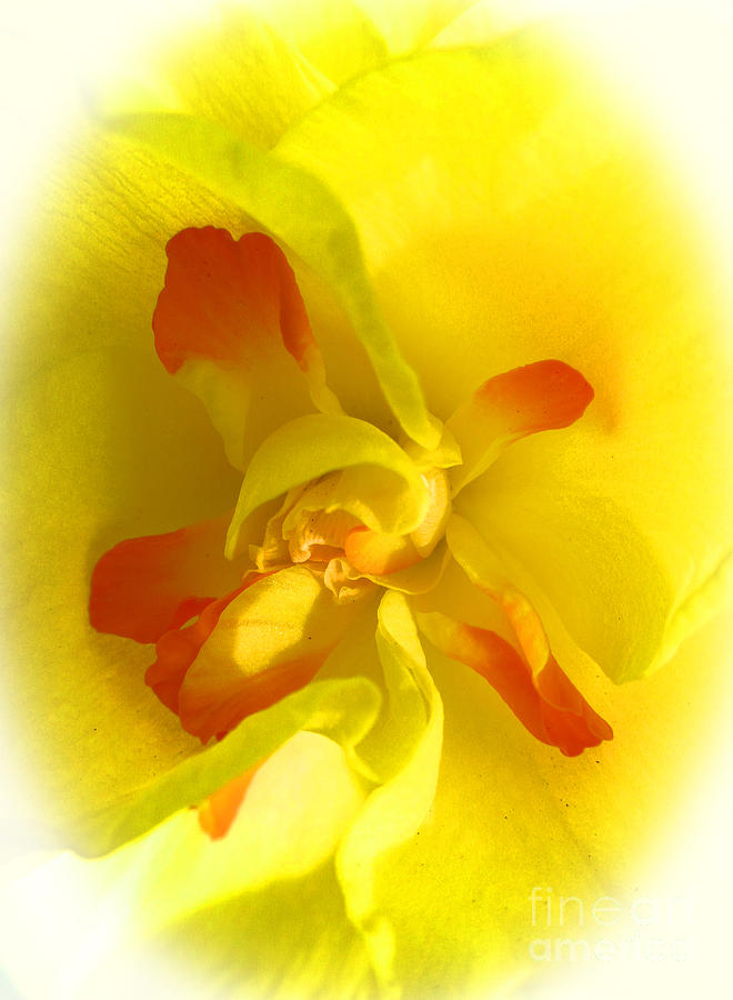 Flower Photograph - Center Daffodil by Tina M Wenger