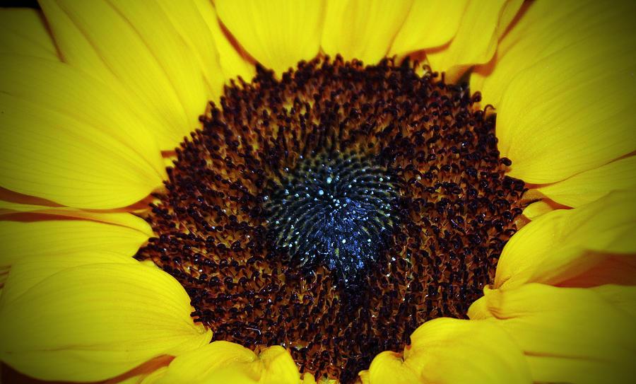 Sunflower Photograph - Center Of A Sunflower by Cynthia Guinn
