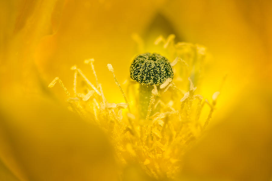 Cactus Flower Photograph - Center Of A Yellow Cactus Flower by  Onyonet  Photo Studios
