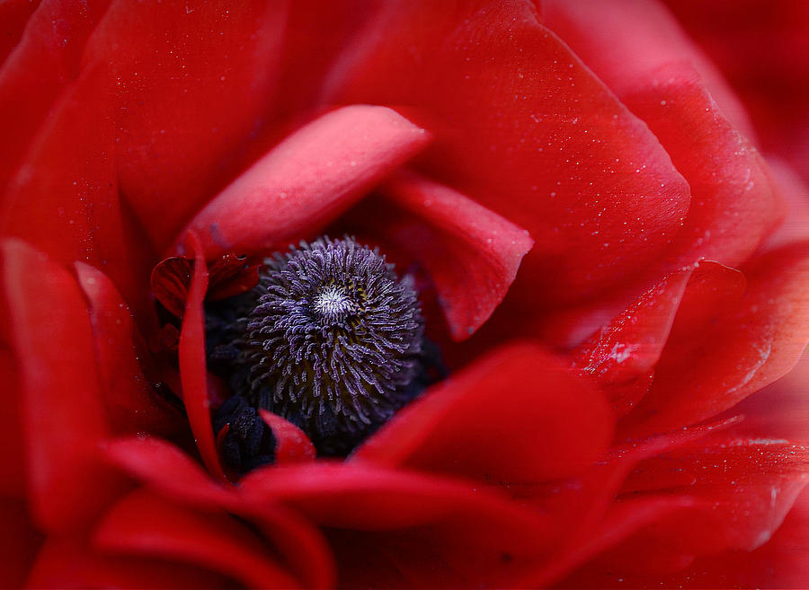 Poppy Photograph - Center Stage 4 by Fraida Gutovich