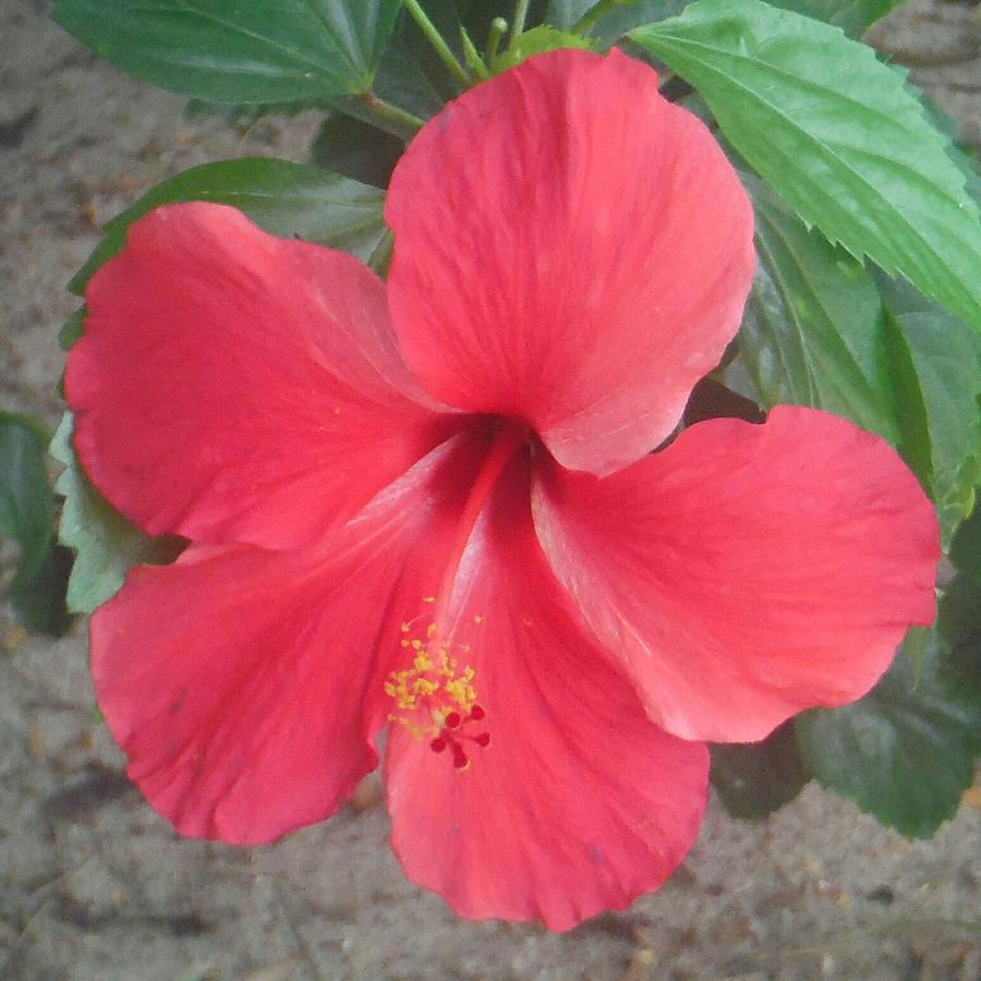 Central American Pink Hibiscus Flower Photograph Photograph By Dee