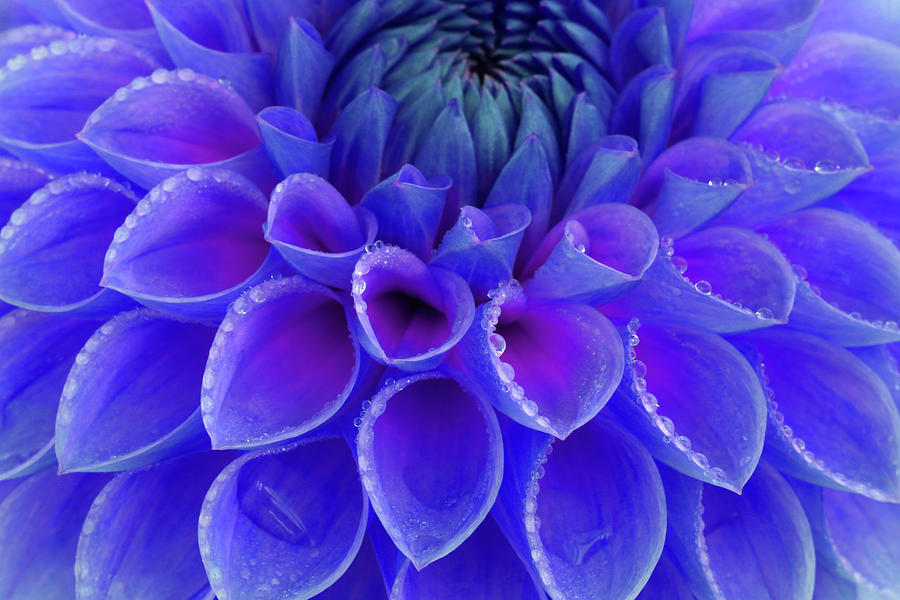 Centre Of Blue And Purple Dahlia Flower Photograph by Rosemary Calvert
