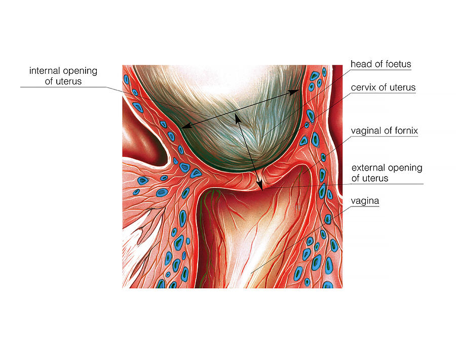 Cervix In Pregnancy Photograph By Asklepios Medical Atlas