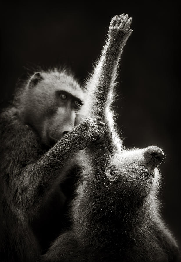 Chacma Baboons Grooming Photograph by Johan Swanepoel