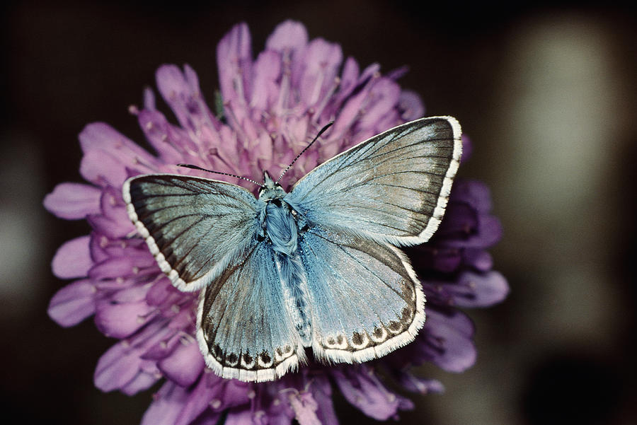 Chalkhill Blue Butterfly (lysandra Coridon), Close-up Photograph by Alan P Barnes
