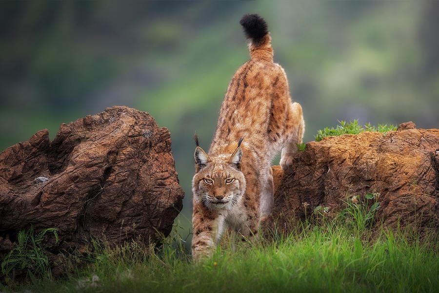 Lynx Photograph - Challenge by Sergio Saavedra Ruiz