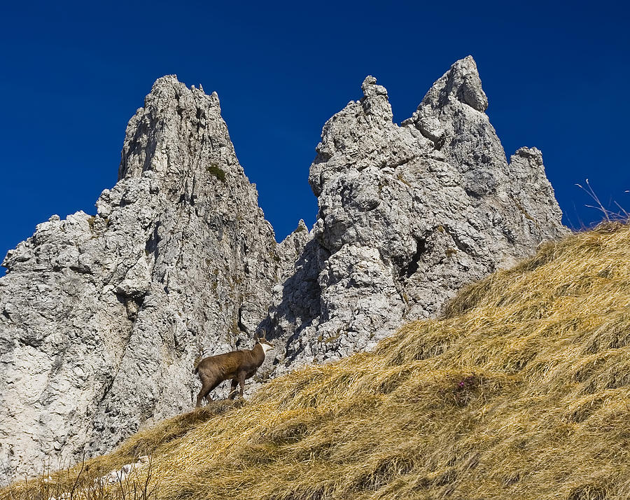 chamois in Alps Photograph by Ioan Panaite