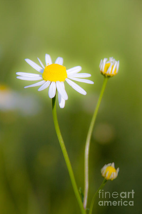 Flowers Photograph - Chamomile 1 by Wayne Valler