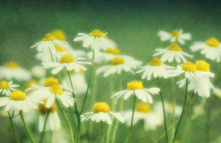 Chamomile Photograph - Chamomile by Claudia Moeckel