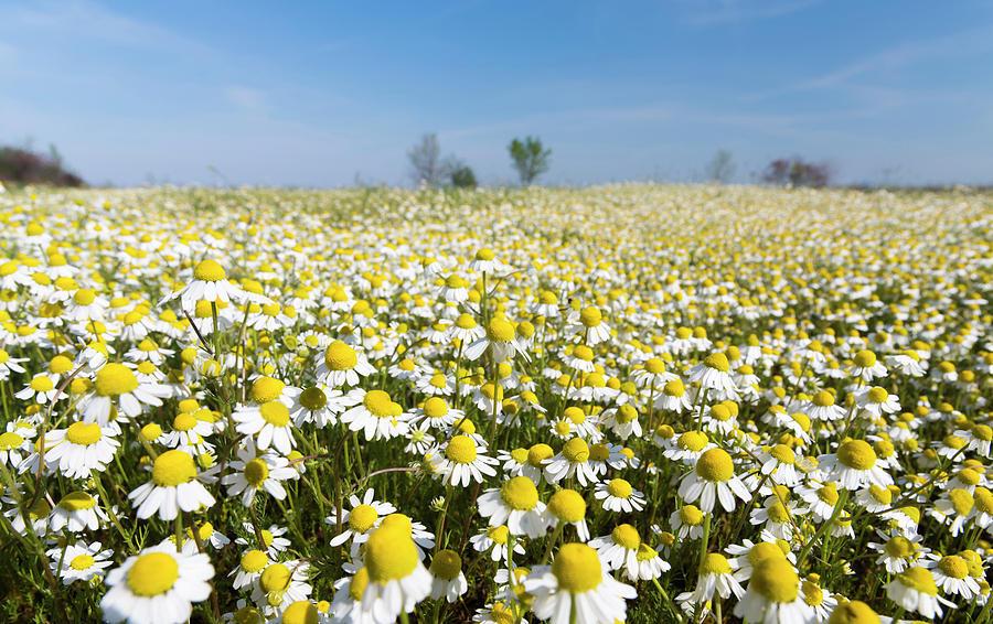 chamomile-field-matricaria-chamomilla-ma