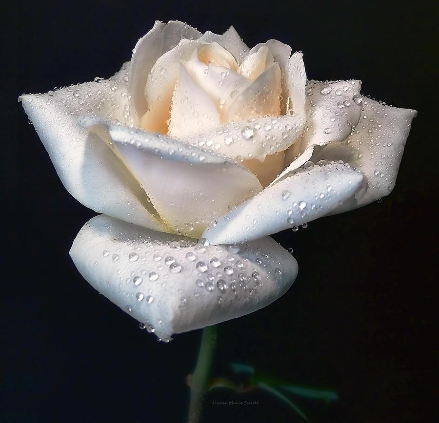 Rose Photograph - Champagne Rose Flower Macro by Jennie Marie Schell