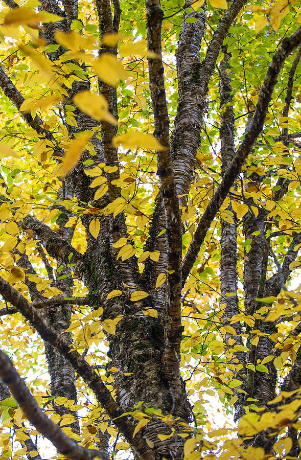 Vermont Photograph - Changing Birch by Alida Thorpe