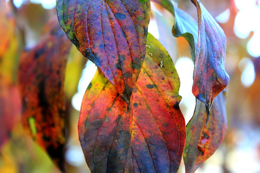 Purple Photograph - Changing Leaves by Dorothy Hall