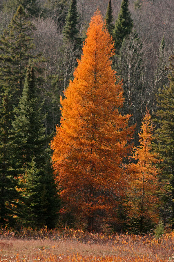 Tamarack Photograph - Changing Of The Seasons by Kathy  Kujala
