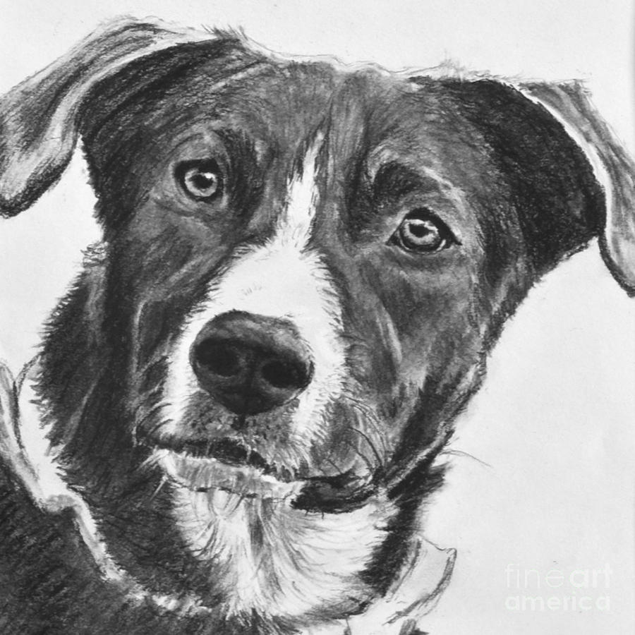 Charcoal Dog Shepherd Drawing By Kate Sumners