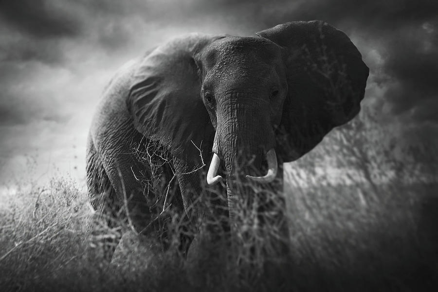 Tusks Photograph - Charge by Bjorn Persson
