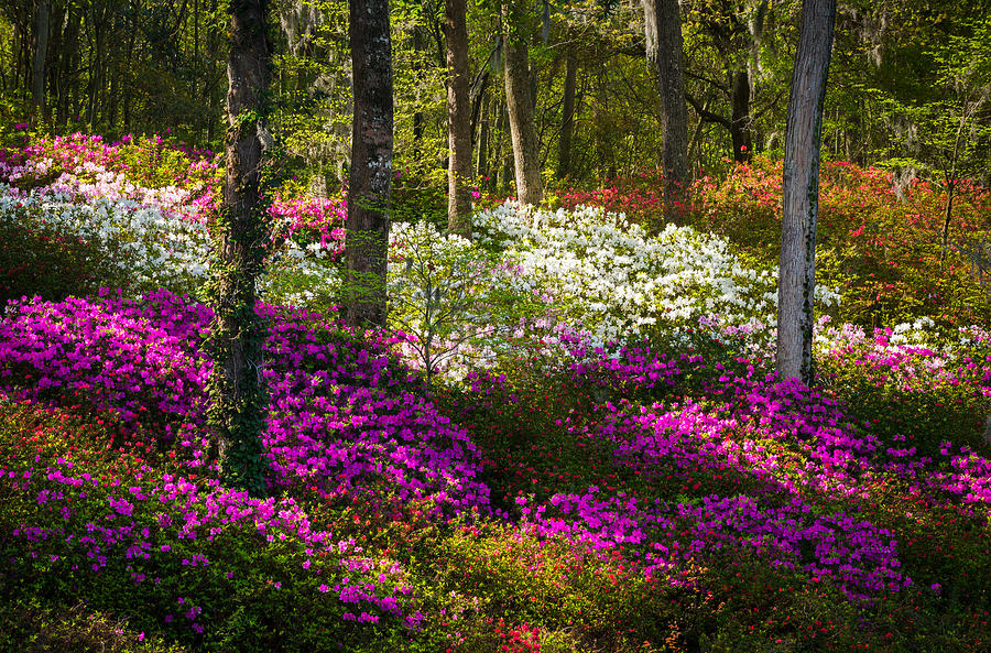 Azaleas Photograph - Charleston SC Azalea Flowers and Sunlight - Fairytale Forest by Dave Allen