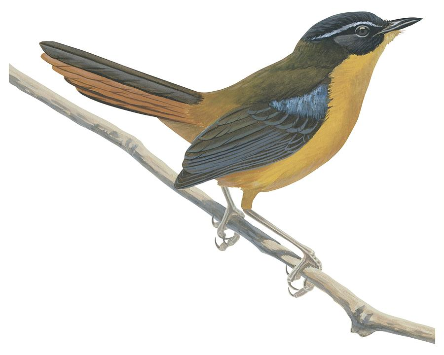 Bird Drawing - Chat Thrush  by Anonymous