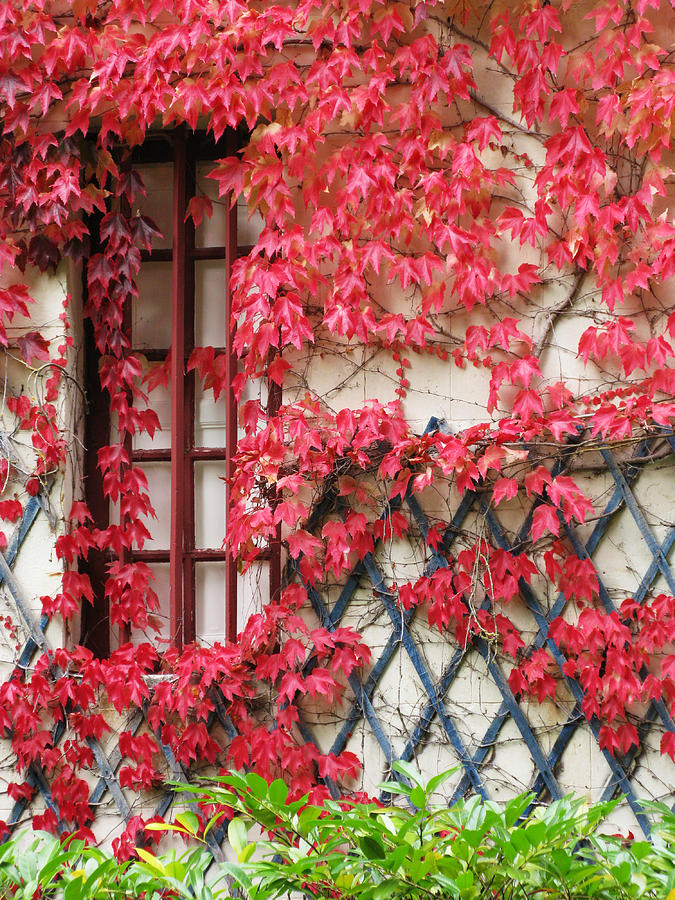 Fall Leaves Photograph - Chateau Chenonceau Vines On Wall Image Three by Randi Kuhne