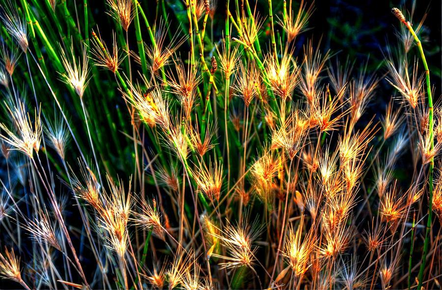 Cheat Grass 15750 Photograph