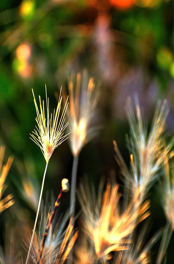 Cheat Grass 15849 Photograph