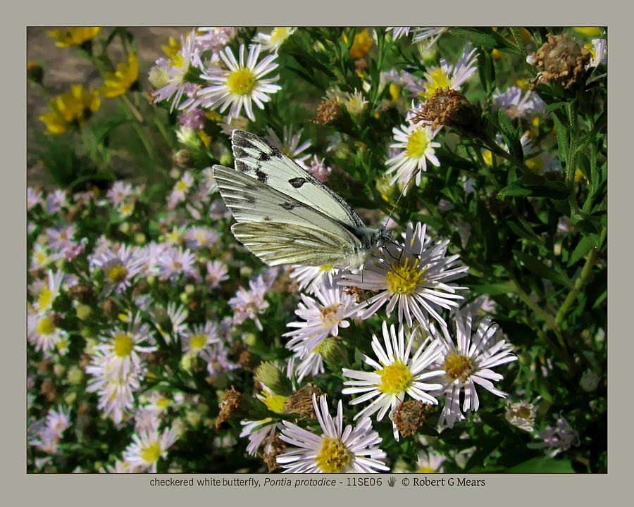 Checkered White Butterfly Photograph - checkered white butterfly - Pontia protodice - 11SE06 by Robert G Mears