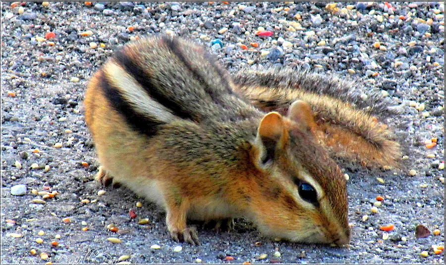Photograph - Cheeky Chipmunk by Danielle  Parent