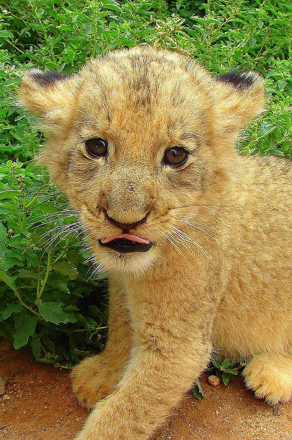 Lion Photograph - Cheeky Cub by Ramona Johnston