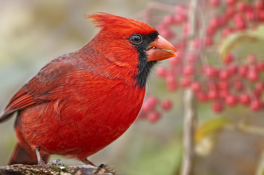 Northern Cardinal Photograph - Cheerful Presence In The Garden by Bonnie Barry